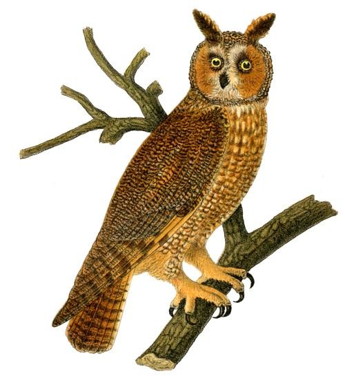 owl vintage image graphicsfairy55b