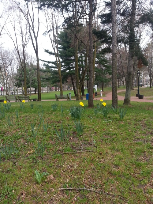 Some daffodils were blooming this week.